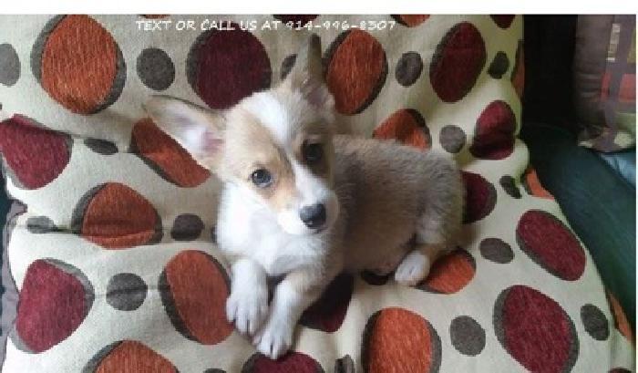 vsdsa Pembroke Welsh Corgi Puppies Male/Female Available