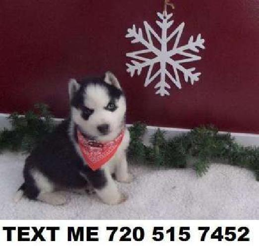well socialized adorable Siberian Husky pups FOR SALE