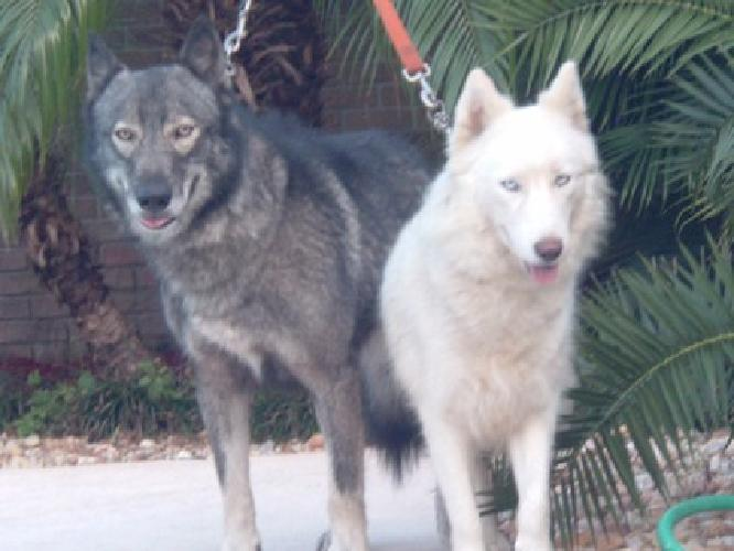 Wolf Hybrid Puppies For Sale In Fort Meade Florida Classified