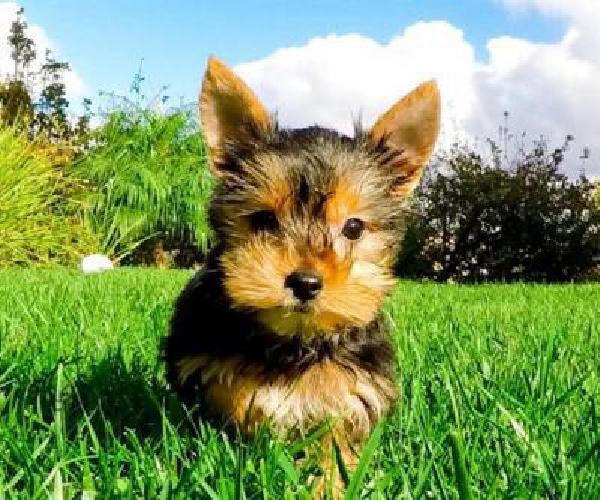wrgk Beautiful Purebred Yorkshire Terrier Puppies