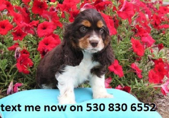 xiyvutiagstftywfytegvdugsuissj Cocker Spaniel Puppies for sale