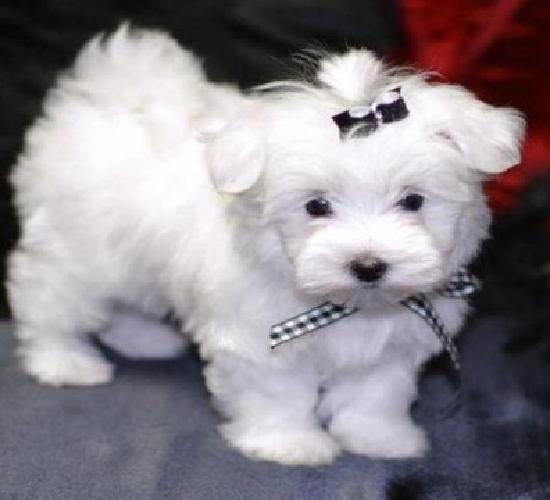 Xsadfse Shinning Maltese Puppies