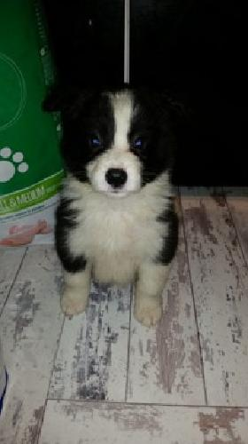 YH%HUI Quality Male Border collie puppy for sale