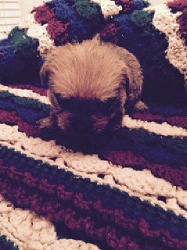 Yorkie & Chihuahua Puppy