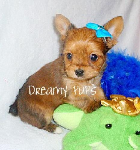 Yorkie Male Pups Charting between 2 to 3 & 1/2 lbs. Baby Doll Faces, Short legs