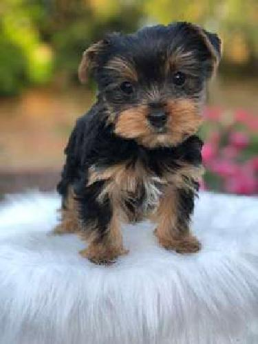 Yorkie Puppies AKC