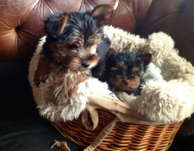 Yorkie Puppies one female and one male. They are 2 months old and ready to go
