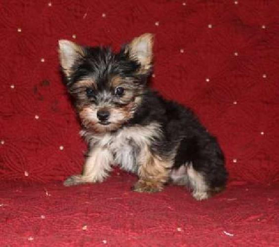 Yorkie Puppy Boy