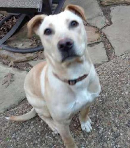 Young male yellow lab mix