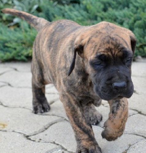 ysushh Great Dane Puppies For lovely homes