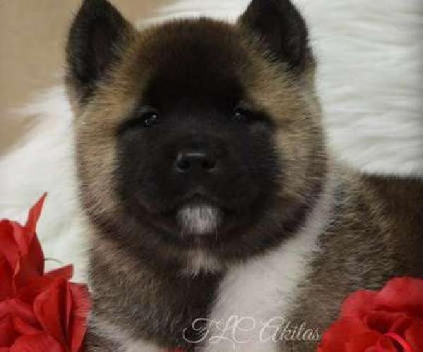 yxny Brilliant Akita puppies for homes