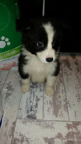 YYRRG Quality Male Border collie puppy for sale