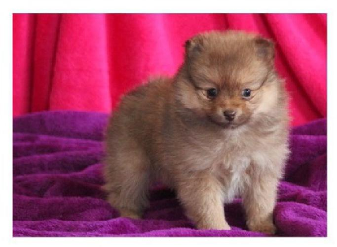 zdfgfdg Teacup Pomeranian Pups For Sale for sale in Big Island
