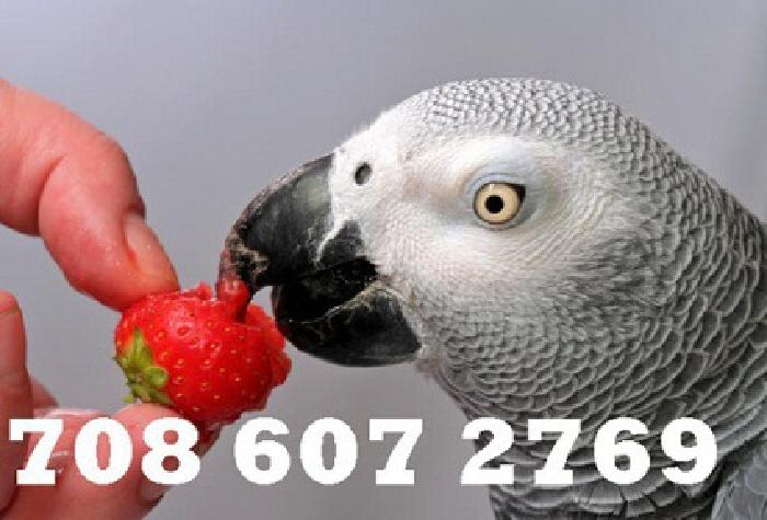 ZFRTY Best suggestion for pet lover is must have African grey as a pet